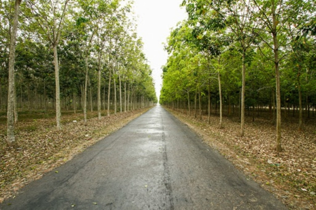 Đoạn đường qua rừng cao su đến Vũng Tàu qua phà Cát Lái. Ảnh: Internet