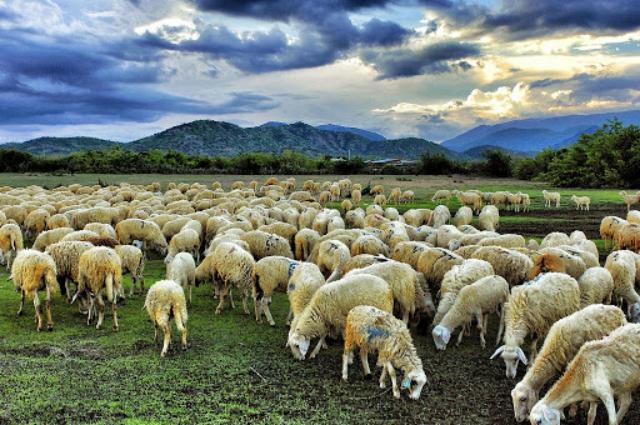 Đồng cừu Suối Nghệ nổi tiếng ở huyện Châu Đức. Ảnh: Internet