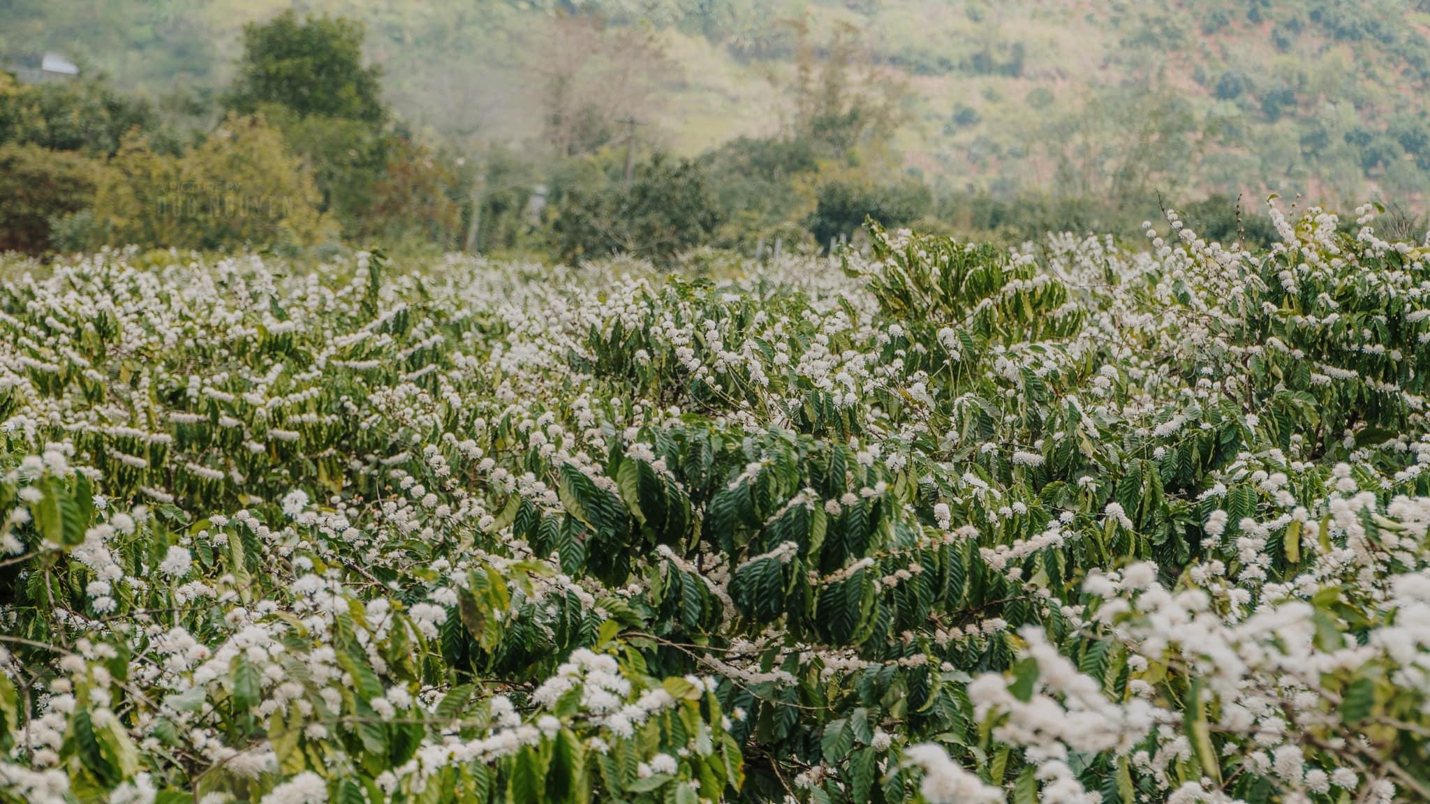 Rừng hoa cà phê Tây Nguyên nở rộ vào tháng 3. Hình: Sưu tầm