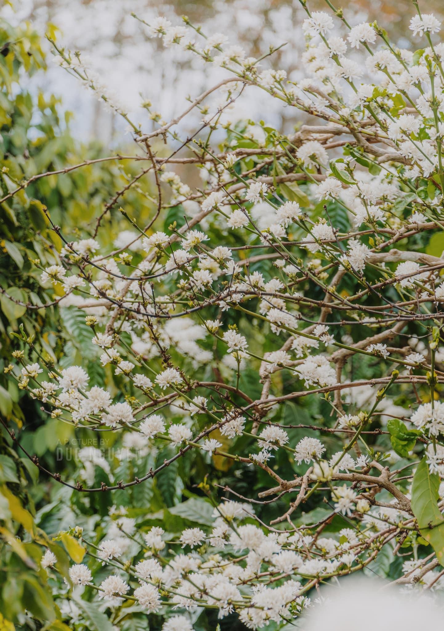 Hoa cà phê sẽ lộ dần một màu trắng xóa rực rỡ khi nở bung hết ra. Hình: Duc Nguyen