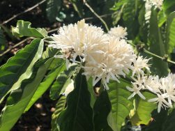 Ghé thăm mùa hoa cà phê Tây Nguyên