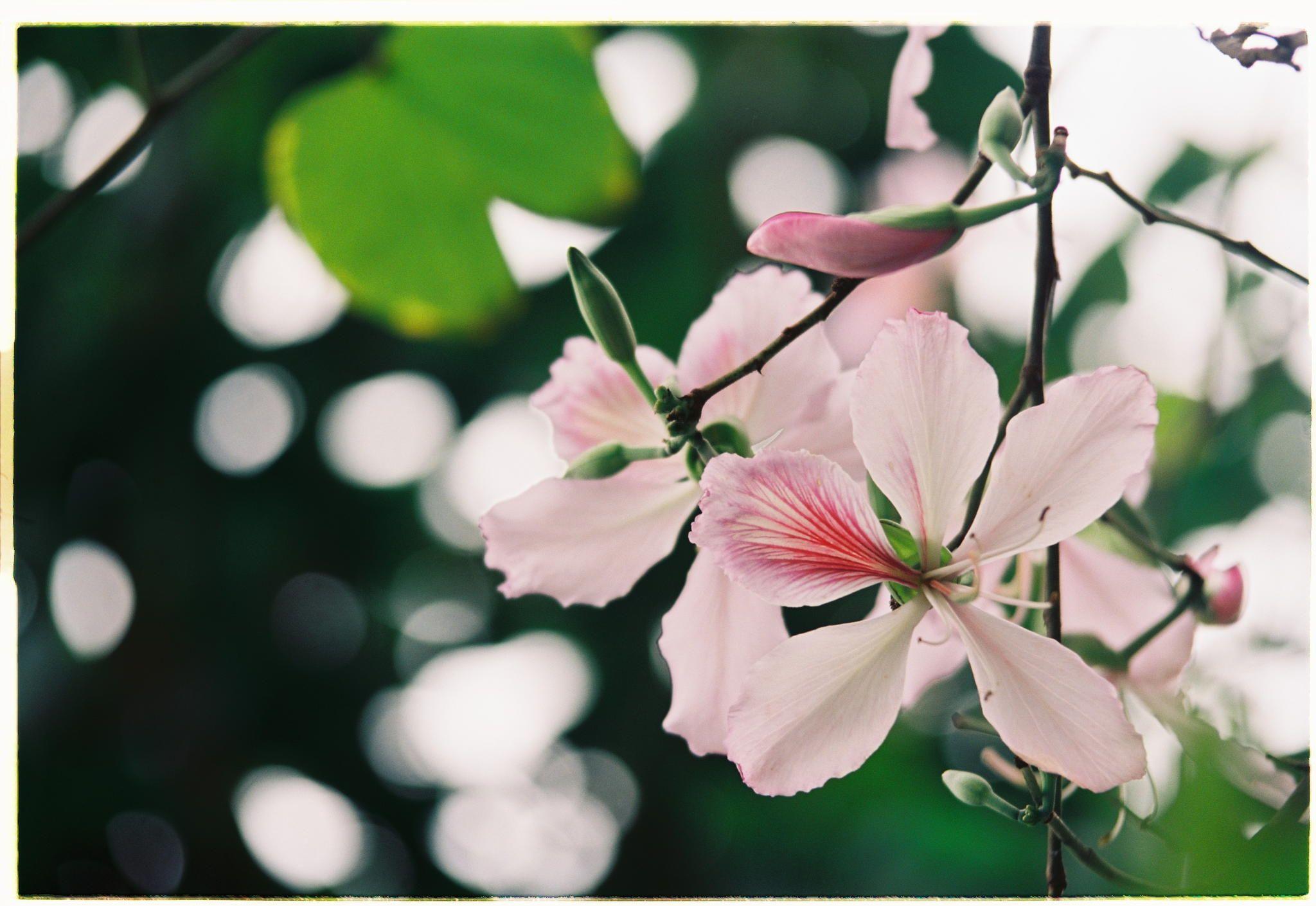 Cánh hoa ban màu trắng pha phớt hồng mộng mơ khiến người nhìn không thể rời mắt