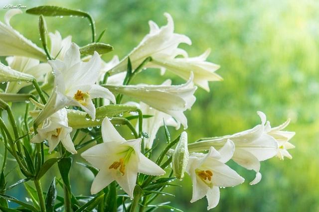 Hoa nở có cánh màu trắng, nhụy vàng, tỏa ra hương thơm man mác