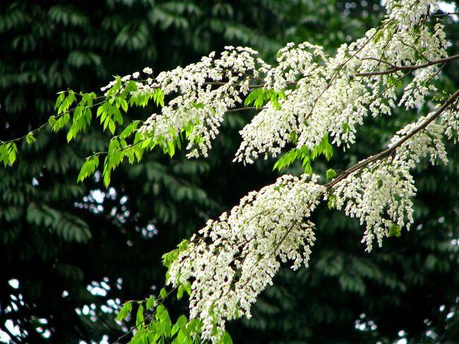 Hoa sưa mang sắc trắng tinh khôi