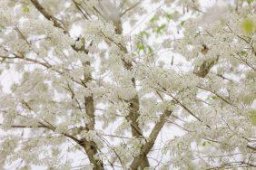 Những địa điểm check-in mùa hoa sưa Hà Nội đẹp ngất ngây