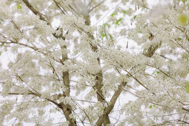 Hoa sưa nở trên cành khẳng khiu, ít lá