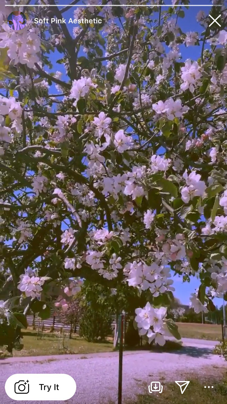 Soft Pink Asethetic dùng chụp hoa hòe thì không thể chuẩn hơn. Hình: Sưu tầm