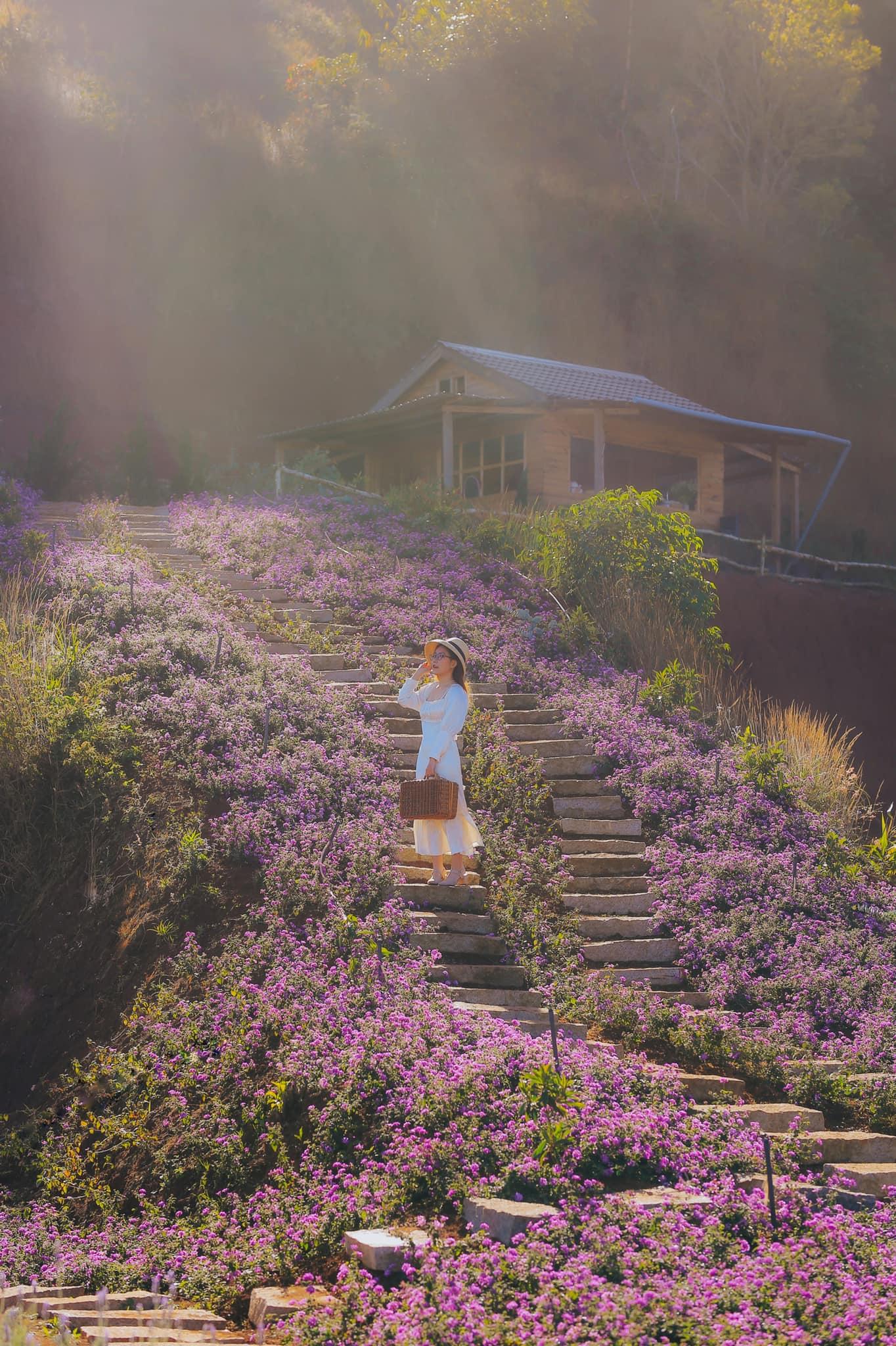 Vườn hoa lavender Túi Thương Nhớ. Hình: Sưu tầm