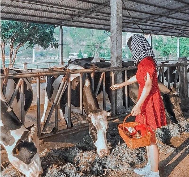Trang trại bò sữa ở Mộc Châu. Hình: Sưu tầm