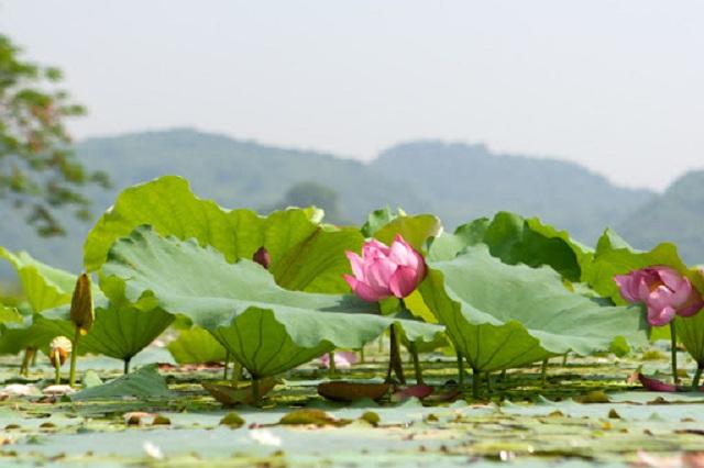 Mùa sen ở hồ Quan Sơn rất đẹp, nếu bạn có dịp tới đây vào mùa sen nở khoảng tháng 5 đến tháng 9 sẽ cảm nhận hết được vẻ đẹp của nơi đây