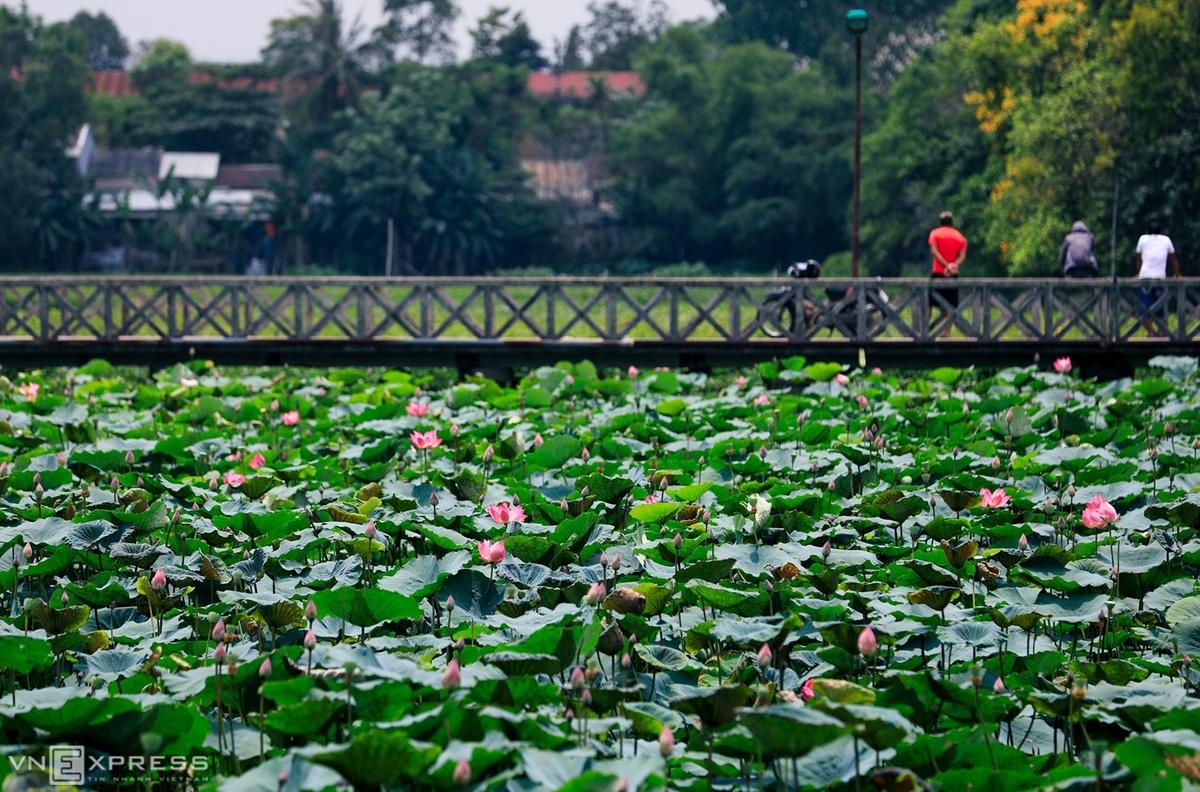 Sen ở Hồ Tịnh Tâm. Hình: Nguyễn Phong