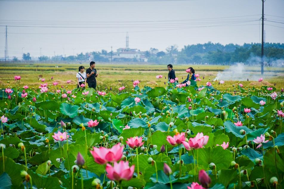 Sen ở làng La Chữ. Hình: Hoang Vo