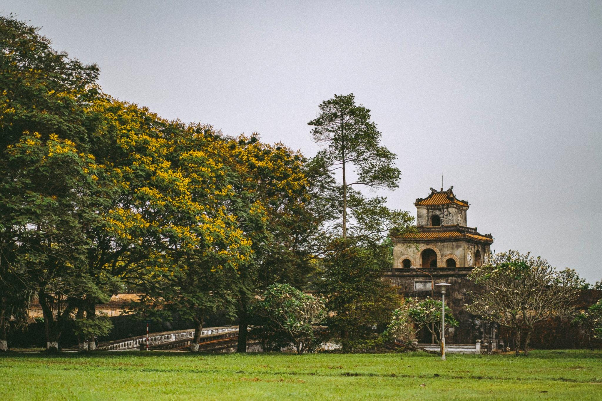 Hoa phượng vàng ở Huế. Hình: Trường Bùi