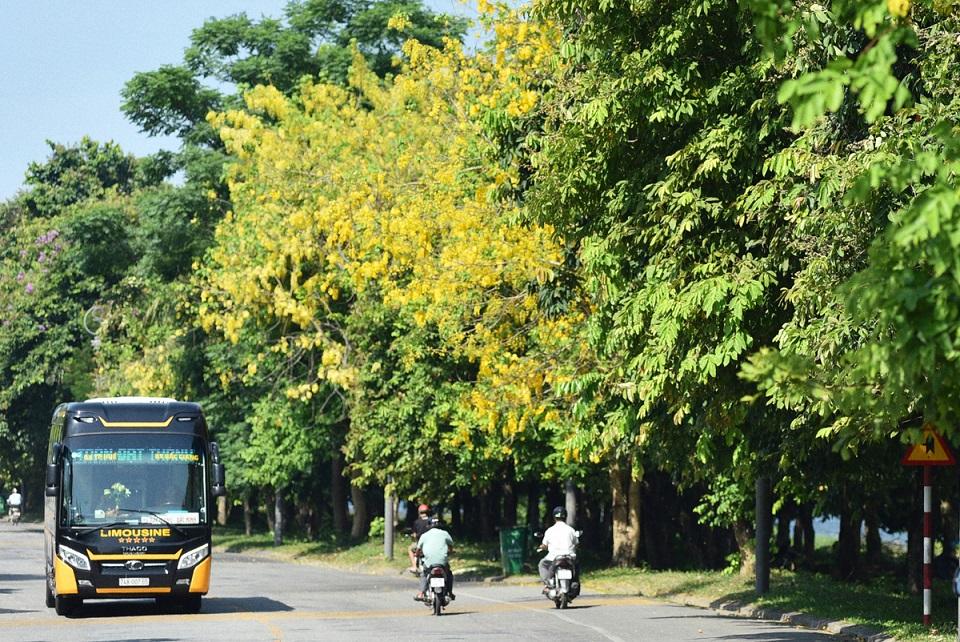 Muồng hoàng yến dọc đường Kim Long. Hình: Sưu tầm