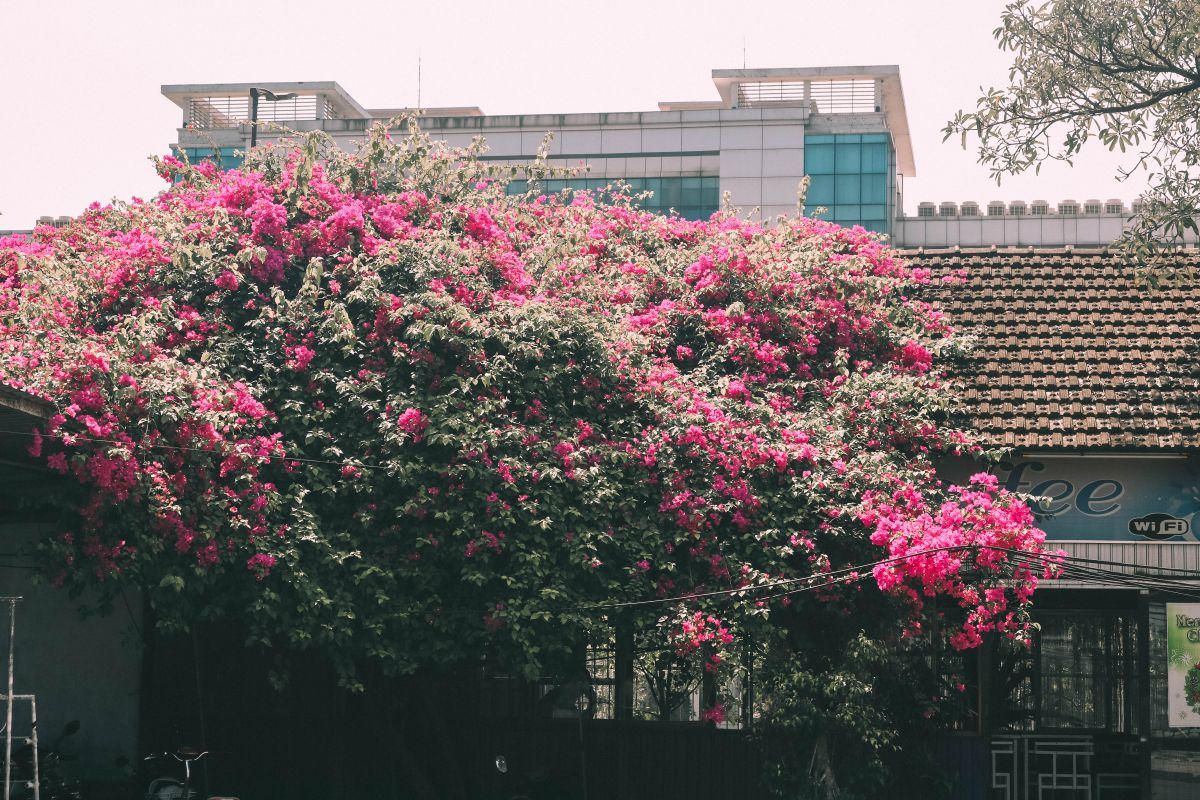 Mùa hoa giấy ở Huế. Hình: Sưu tầm