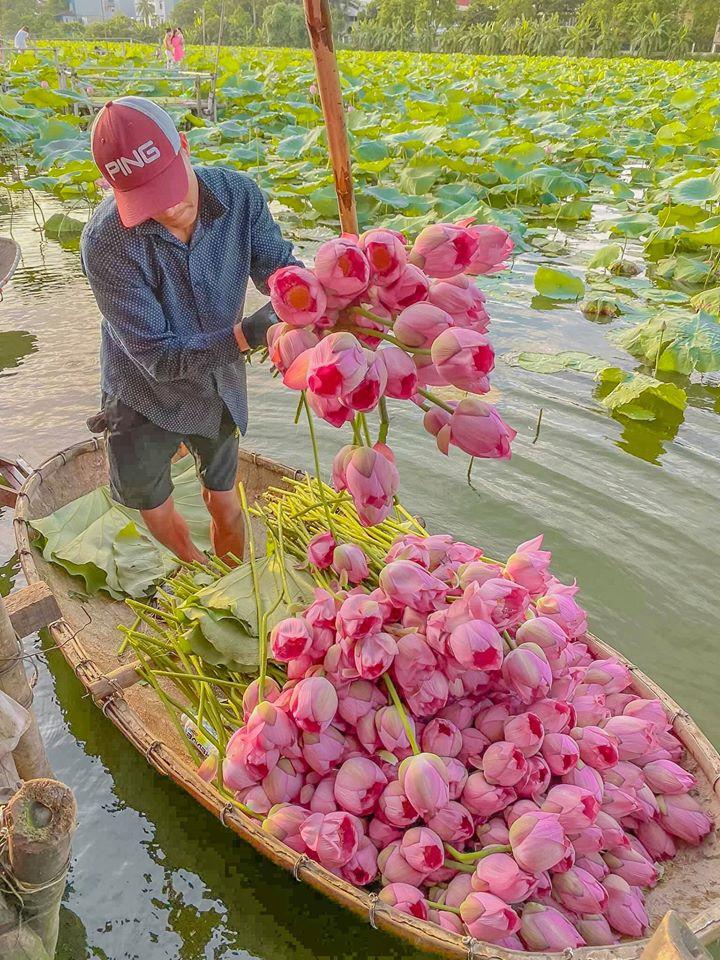 Hoa sen ở hồ Tây. Hình: Sưu tầm