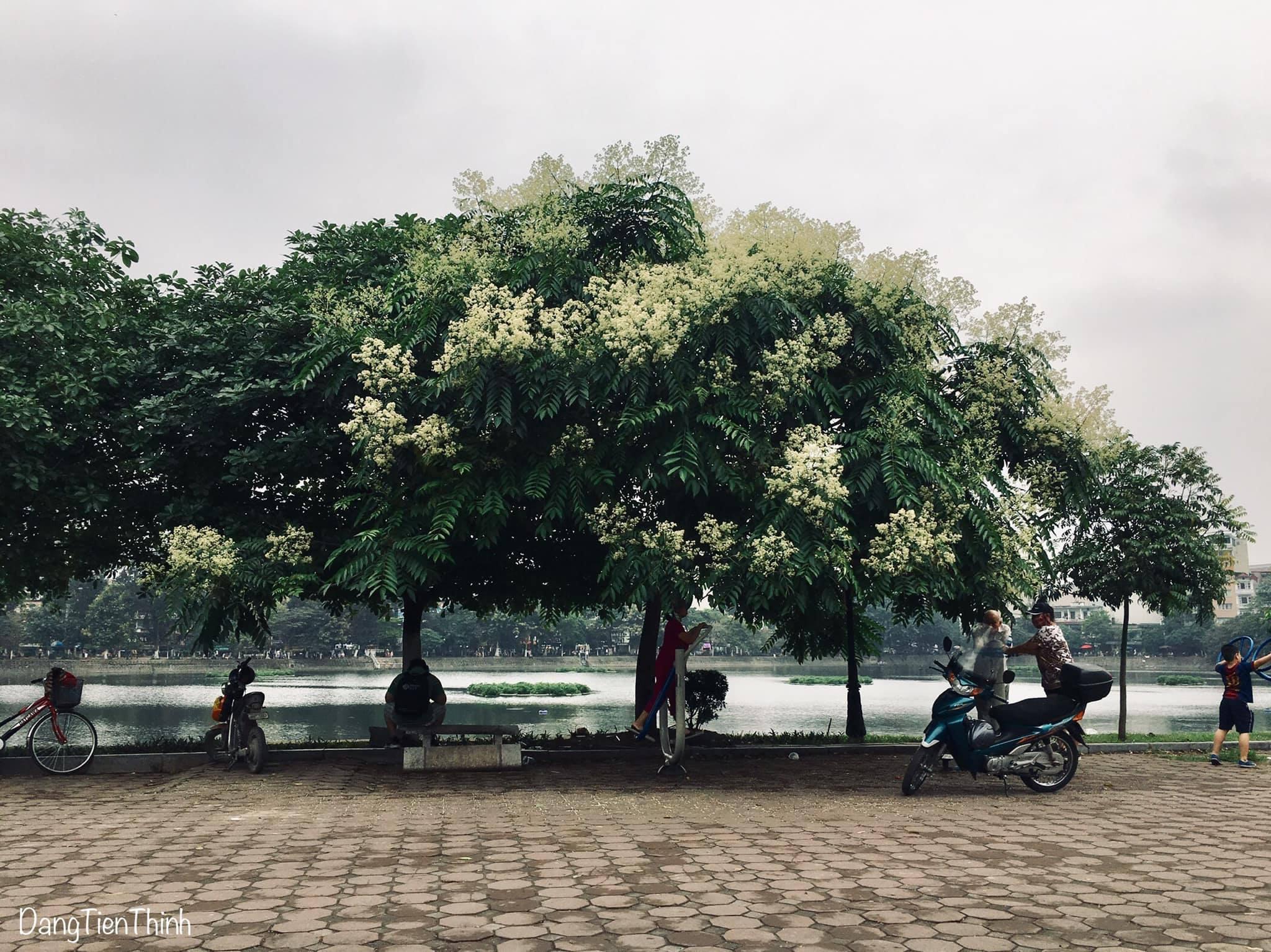 Mùa hoa dâu da xoan. Hình: Sưu tầm