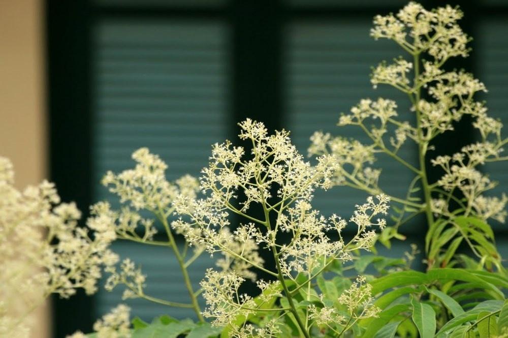 Hoa nở từng chùm li ti. Hình: Sưu tầm