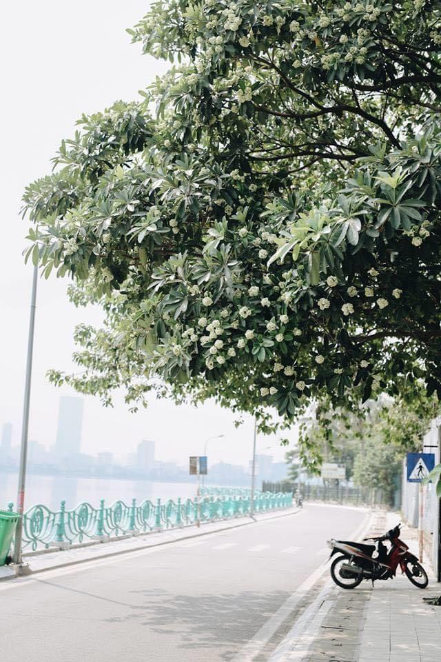 Hoa sữa Hà Nội. Hình: Sưu tầm