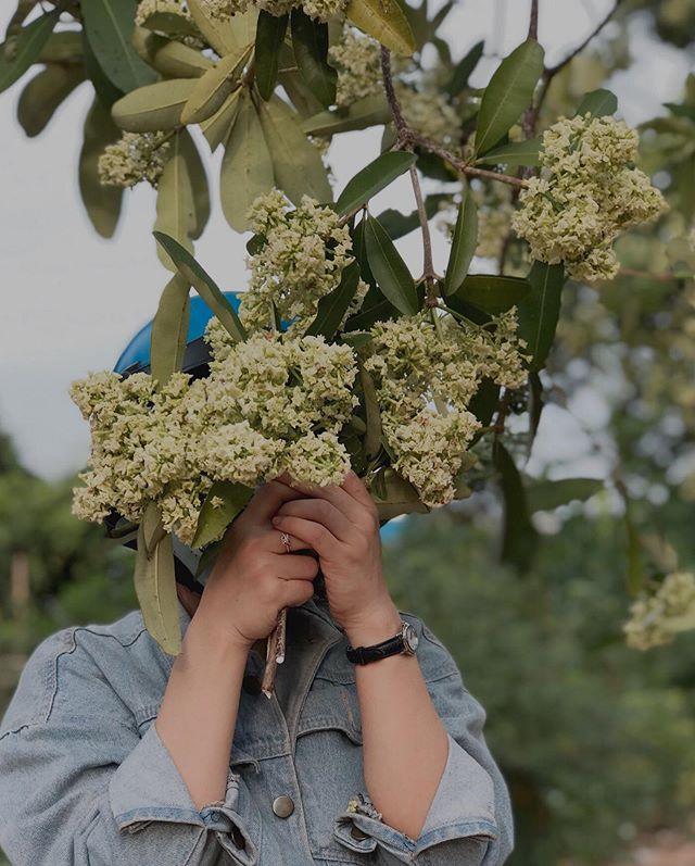 Từng cây đơm hoa trắng thành cụm xum xuê. Hình: Sưu tầm