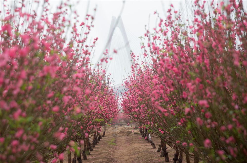 Vườn đào Nhật Tân. Hình: Sưu tầm
