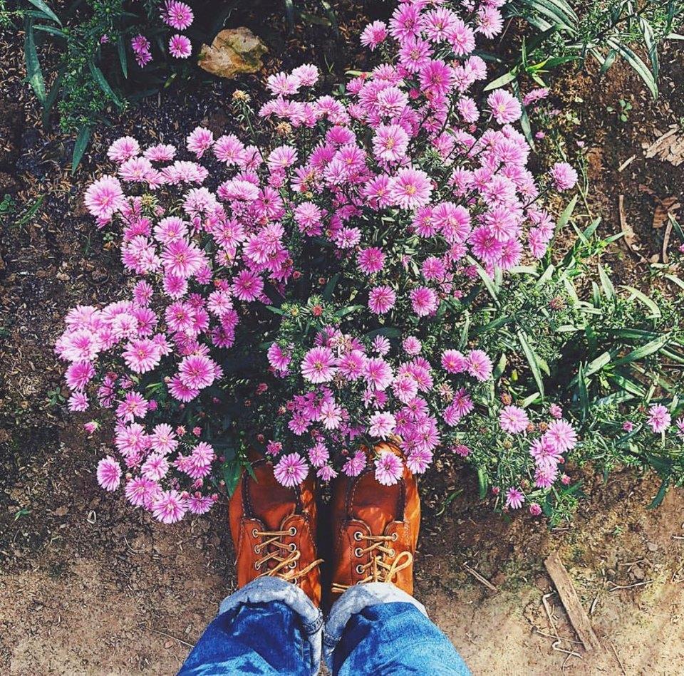 Mùa hoa thạch thảo tím Hà Nội. Hình: Sưu tầm