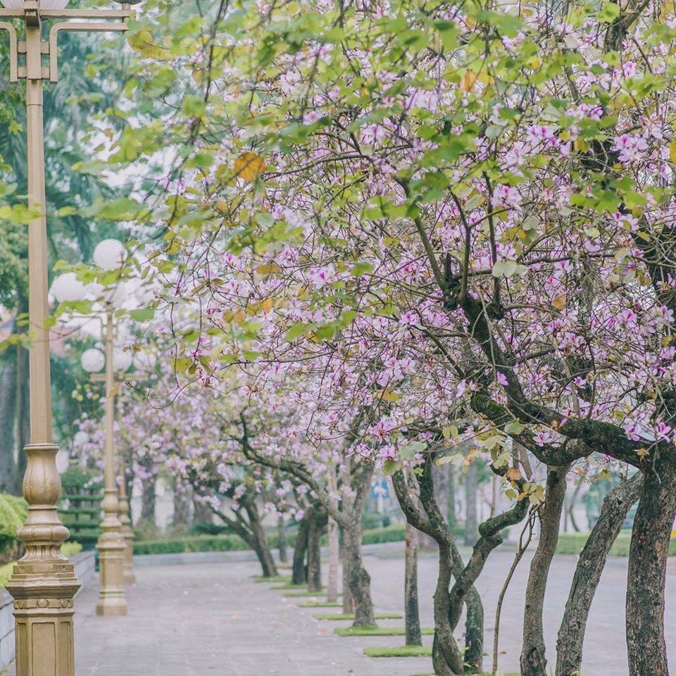 Mùa hoa ban Hà Nội. Hình: Sưu tầm