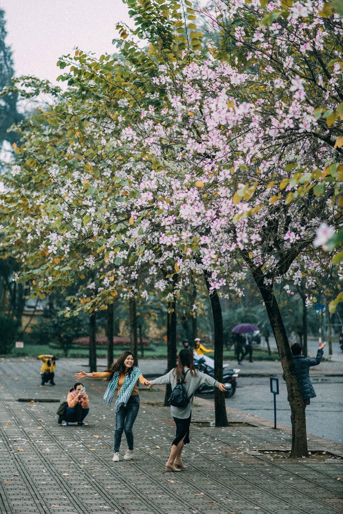 Những tuyến phố ngập tràn hoa ban. Hình: Sưu tầm