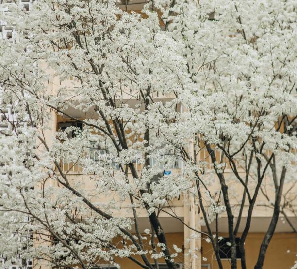 Hoa sưa trắng muốt. Hình: Sưu tầm