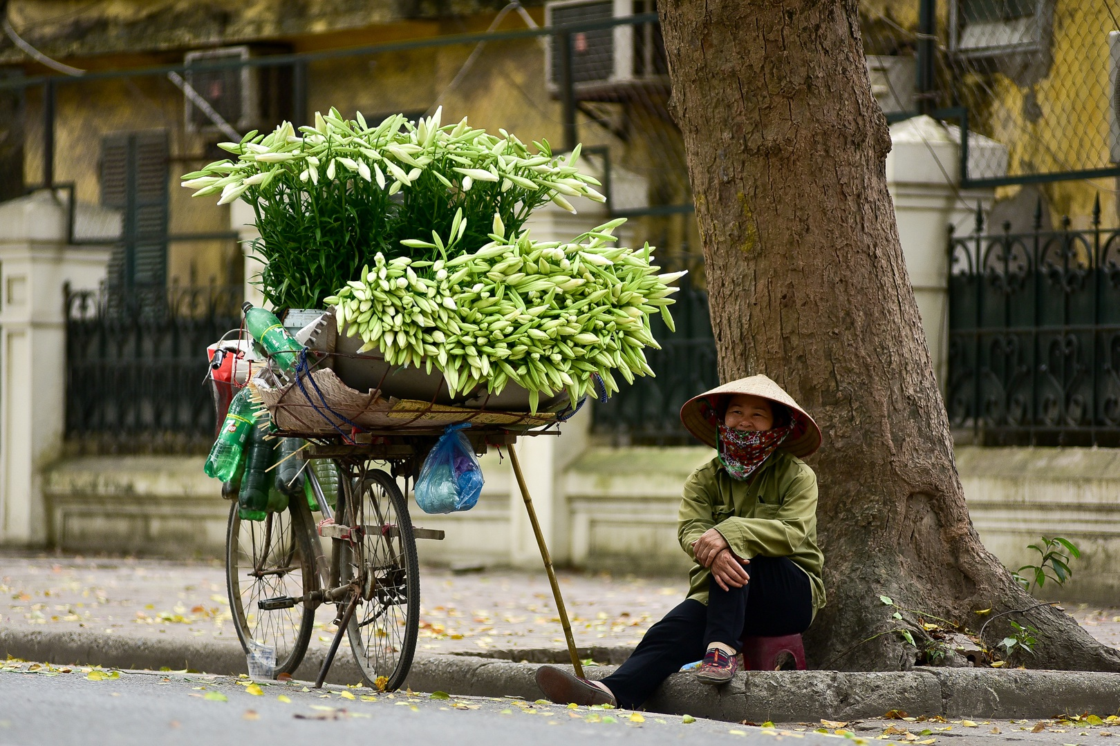 Mùa hoa loa kèn Hà Nội. Hình: Sưu tầm