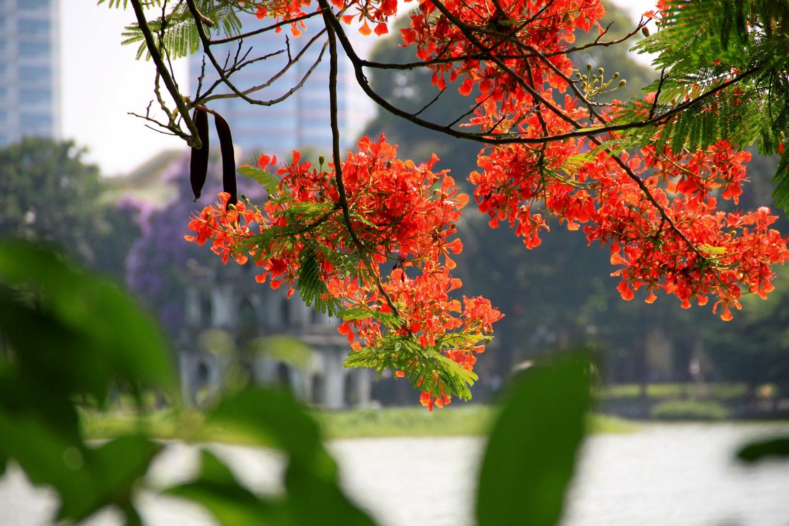 Hoa phượng bên hồ Gươm. Hình: Sưu tầm